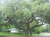 First Baptist Church of Goliad Oak Tree